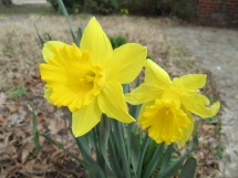 Daffodils mean Hope to me!