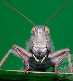 the face of a locust
