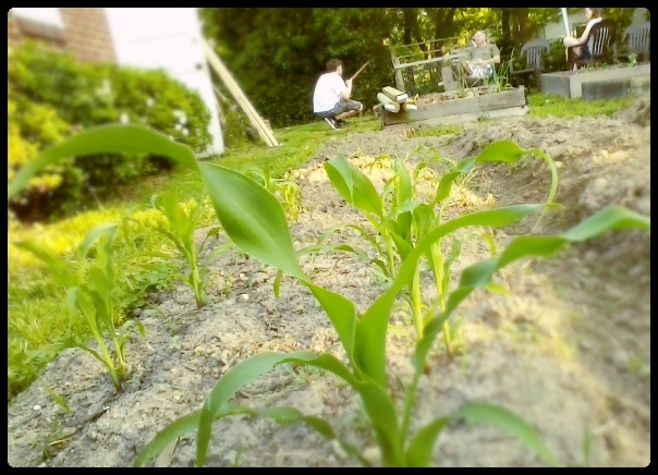 A Bugs Eye View from the Corn in the Garden