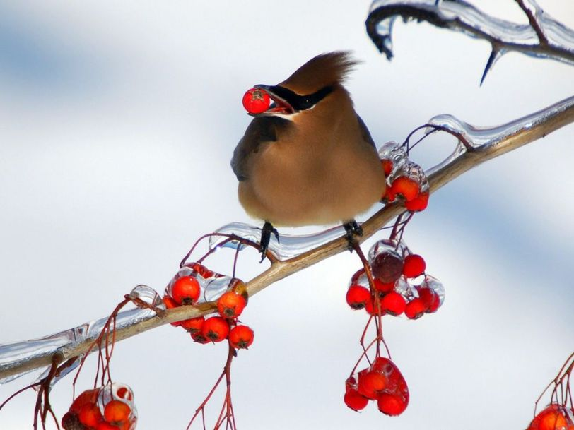birds-berries_12089_990x742